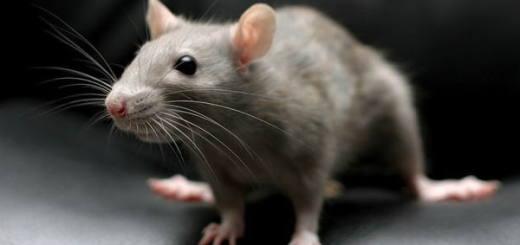 Серая крыса, или пасюк