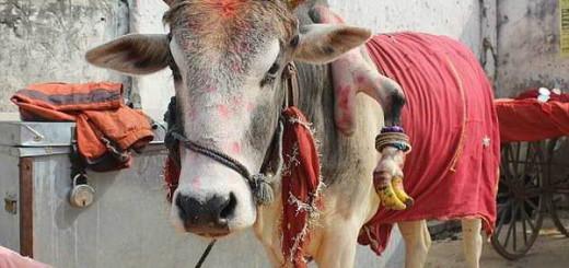 Чудотворный пятиногий бык-мутант из Индии